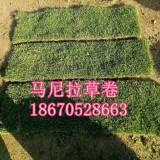 马尼拉草皮 贵阳草皮价格 绿化草皮供应
