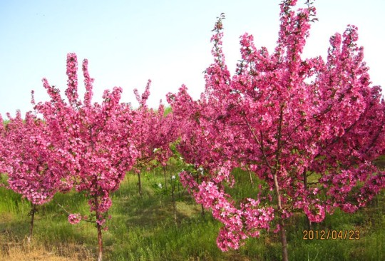 供应北美海棠大树