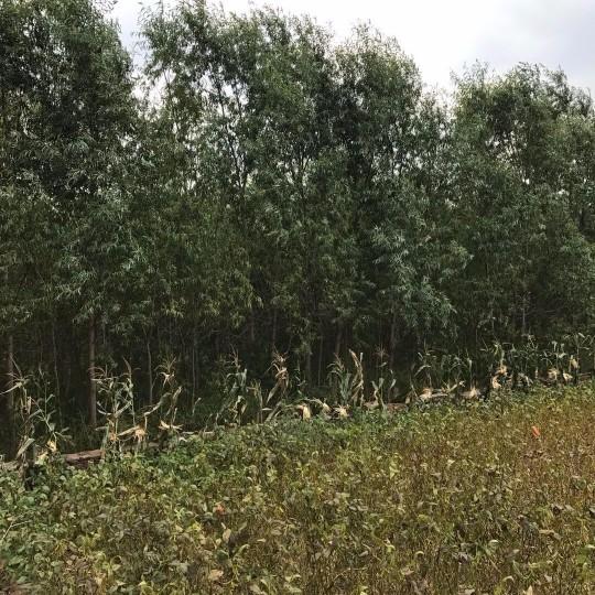 柳树苗3-7公分