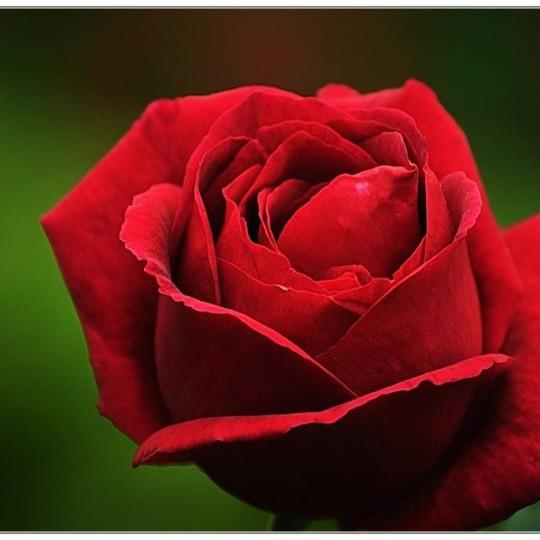 各类玫瑰供应