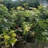 四季龙眼树苗 四季蜜苗 地径2公分四季龙眼苗