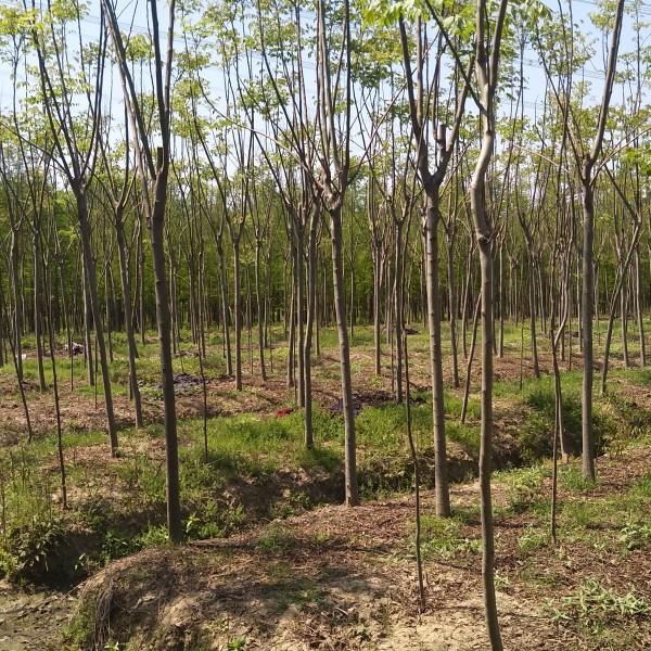 黄山栾树6~10公分