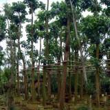 秋枫树行道树风景树绿化工程树