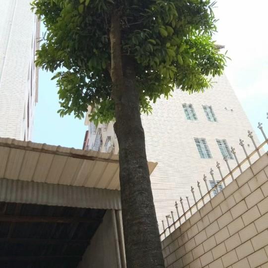 苦丁茶树(大叶冬青)