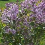 紫丁香(四五分支)