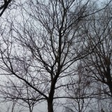新都自家皂角树R10-20