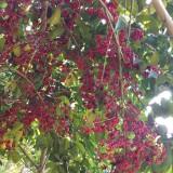 白银香(万紫千红、红果冬青)8-10公分,16公分