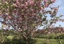 南方曼地亚红豆杉杯苗