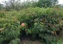 红绒球   红合欢、朱缨花   高1.2米x冠1.2米红绒球价格