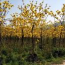 黄花风铃木  多花风铃木  10公分黄花风铃木  巴西风铃木