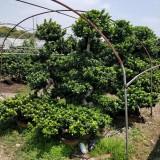 造型榕   高2米 冠2米 造型榕树   榕树桩景  造型榕树桩景