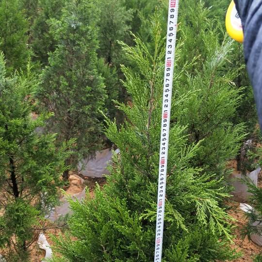 竹柏高1.4米x冠80cm   竹柏价格   竹柏苗