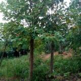 18公分马褂木