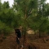 米经8公分湿地松