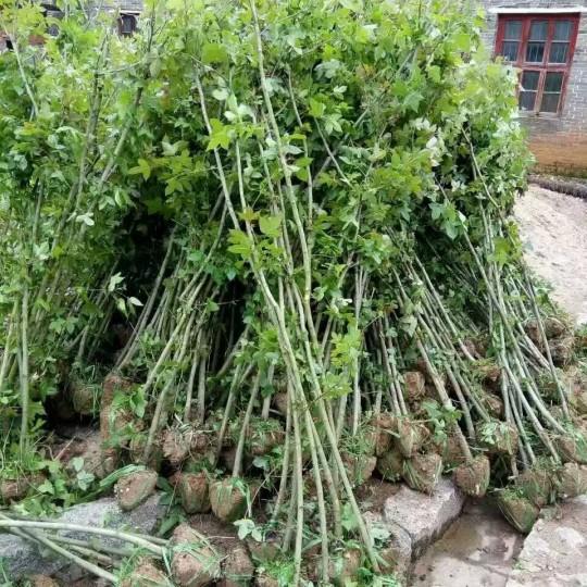 地径2公分枫香