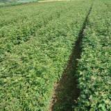 地径1.5公分枫香