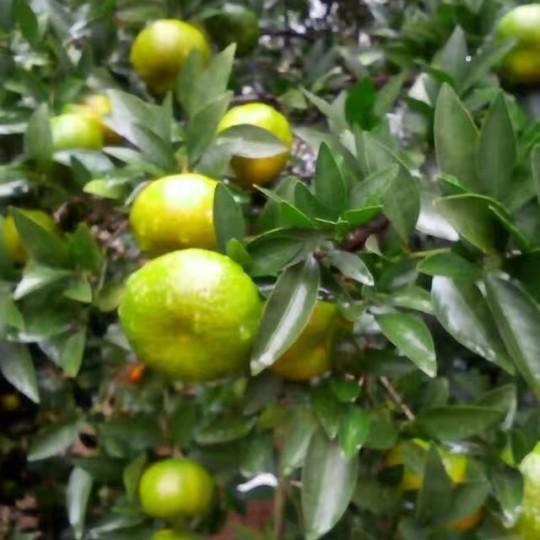 砂糖橘树苗
