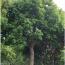 香樟 25-30公分
