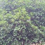 桔子树低价处理
