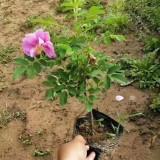 四季玫瑰杯苗