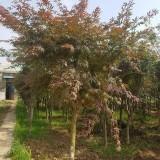 6公分中国红枫