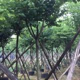 宫粉紫荆18公分地苗袋苗