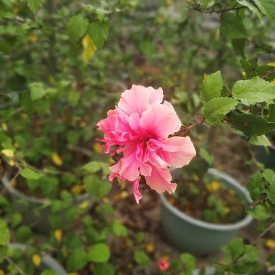 粉花复瓣扶桑 粉色朱槿   高1.5米粉花朱槿 复瓣扶桑价格