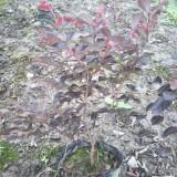 红花继木(杯苗)