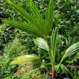 蒲葵  高30公分蒲葵价格  棕榈科蒲葵