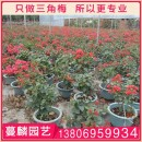 福建三角梅苗 漳州三角梅苗出售
