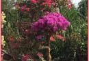 多色三角梅盆栽颜色齐全