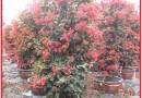 中国红三角梅