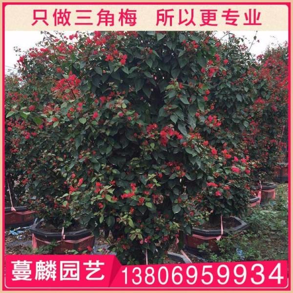 红色三角梅漳州基地直销