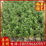 胡椒木价格