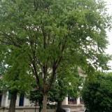 米径15公分无患子树市场价格