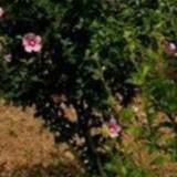 9公分红花木槿