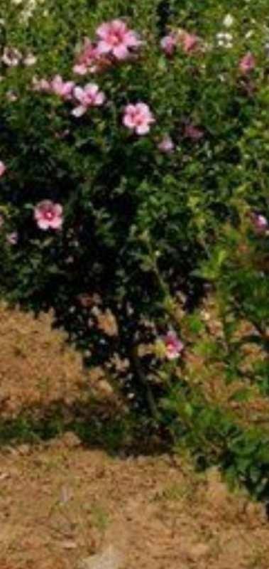 10公分红花木槿