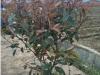 红叶石楠大桶苗