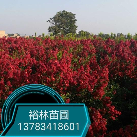 郑州彩色苗木基地供美国三红紫薇红火箭