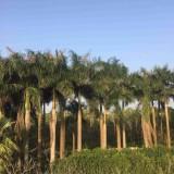 福建大王椰子批发 大王椰子报价 大王椰子树 大王椰子价格