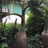 酒瓶椰子价格 酒瓶椰子批发 酒瓶椰子报价 酒瓶椰子基地直销 酒瓶椰子树