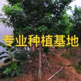 米径14公分黄花槐