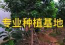 4米黄花槐