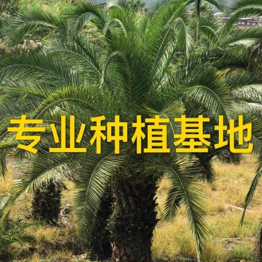 福建加拿利海枣树批发