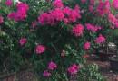 2米自然形红花三角梅勒杜鹃价格批发报价