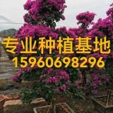 福建批发自然形红花三角梅