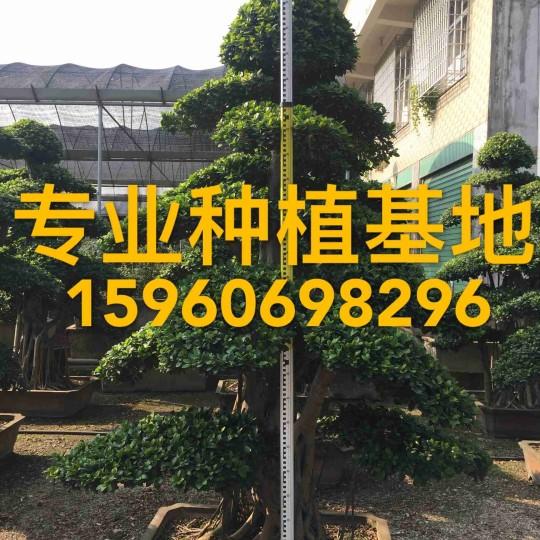小叶榕价格 福建2米高小叶榕批发报价