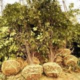 石楠冠幅1.5米-4米批发价格
