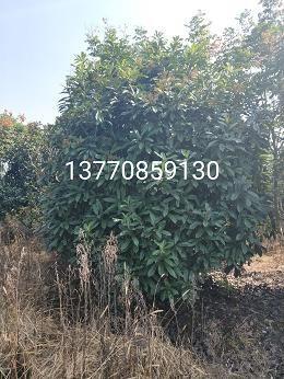 石楠冠幅2米,高2.5米价格
