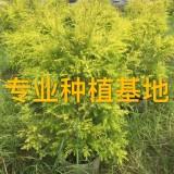 高50公分黄金香柳苗价格